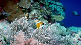 Clark's anemonefish Amphiprion clarkii peeking out of its host anemone, close up. Clark's anemonefish Amphiprion clarkii peeking out of its host anemone stock footage