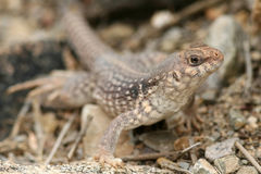 Clark's Spiny Lizard Royalty Free Stock Images