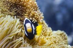 clark amphiprion anemonefish clarkii s Στοκ φωτογραφία με δικαίωμα ελεύθερης χρήσης