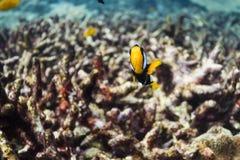 Clark anemonefish στο εθνικό πάρκο Surin Στοκ φωτογραφία με δικαίωμα ελεύθερης χρήσης
