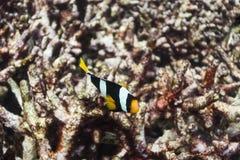 Clark anemonefish στο εθνικό πάρκο Surin Στοκ Εικόνες
