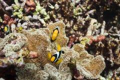Clark anemonefish στο εθνικό πάρκο Surin Στοκ Εικόνα