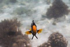 Clark anemonefish στο νησί Lipe Στοκ Φωτογραφία