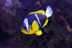Clark anemonefish Στοκ Εικόνες