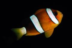 Clark anemonefish (clarkii Amphiprion) Royalty-vrije Stock Foto