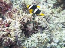 Clark Anemonefish (clarkii Amphiprion) Στοκ Εικόνες