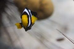 Clark anemonefish (clarkii Amphiprion) Στοκ εικόνα με δικαίωμα ελεύθερης χρήσης