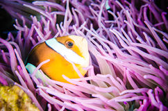 Clark Anemonefish hiding swimming Bunaken Sulawesi, Indonesia underwater  Amphiprion clarkii Stock Photo