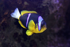 Clark Anemonefish Royalty Free Stock Images