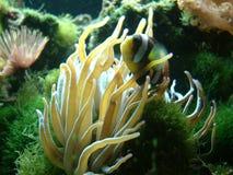 Clark Clownfish & il suo Anemone Immagine Stock