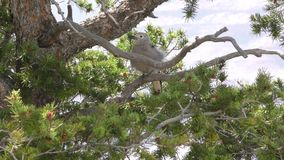 Arizona, Grand Canyon, A clark nutcracker bird in a tree with the wind blowing the branches around. A clark nutcracker bird in a tree with the wind blowing the stock footage