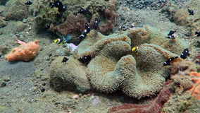Clark s Anemone fish in coral reef stock video footage