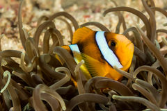 Clark's Anemone Fish Stock Photography