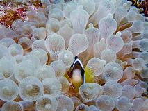 Clark's Anemonefish Royalty Free Stock Image