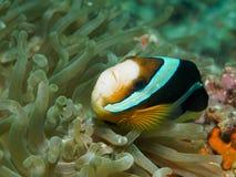 Clark ` s Anemonefish Στοκ φωτογραφίες με δικαίωμα ελεύθερης χρήσης