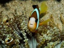 Clark ` s Anemonefish Στοκ Εικόνες