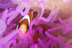 Clark`s Anemonefish in Purple Anemone stock images