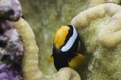Clark's anemonefish (Amphiprion clarkii) Stock Photo