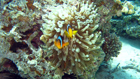 Clark's Anemonefish or clownfish in the Red Sea Stock Photos