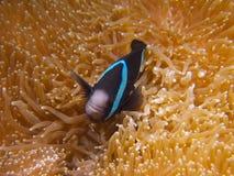 Clark's anemonefish  Stock Images