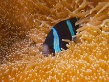 Clark's anemonefish Stock Photography