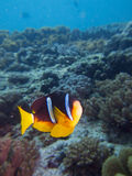 Clark's anemonefish Royalty Free Stock Photo