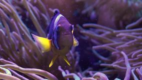 Clark`s anemonefish Amphiprion clarkii fish stock video footage