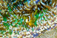 Clark's Anemoneyfish (Amphiprion Clarkii) Royalty Free Stock Photography