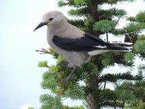 Clark ` s dziadek do orzechów Nucifraga columbiana, czasem nawiązywać do Clark ` s wrona lub dzięcioł wrona jako, wróblowaty ptak Obraz Royalty Free