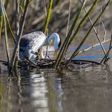 Clark`s Grebes. Clark`s Grebe Attending to Its Nest and Eggs On Lake Hodges, San Deigo, California stock photos
