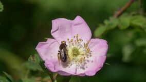 Clark`s Miner Bee Andrena clarkella. Miner Bee collects pollen on a wild dog-rose flower