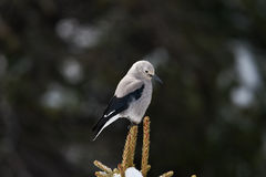 Clark's Nutcracker Stock Photos