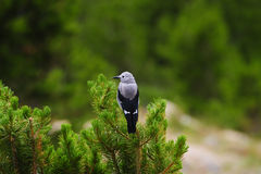 Clark's Nutcracker Stock Photo