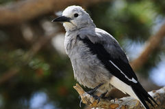 Clark's Nutcracker Royalty Free Stock Images