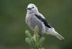 Clark's Nutcracker. A portrait of a Clark's Nutcracker, photographed in Canada Stock Image
