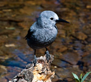 Clark's Nutcracker bird Royalty Free Stock Photography
