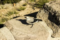 Clark`s Nutcracker bird royalty free stock images