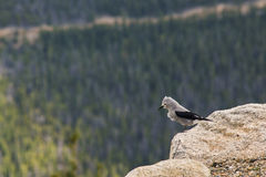 Clark's Nutcracker Bird with Pine Forest at Background Royalty Free Stock Images