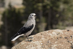 Clark's Nutcracker Bird with Pine Forest at Background Royalty Free Stock Photos