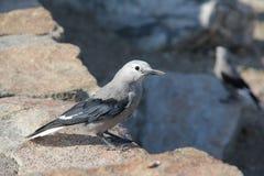 Clark`s Nutcracker Bird in RMNP Stock Images