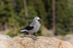 A clark's nutcracker bird in the Rocky Mountains in Colorado Stock Images