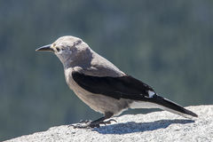 Clark's Nutcracker bird. A Clark's Nutcracker bird seen here in the Rocky Mountain National Park, Colorado Royalty Free Stock Photo