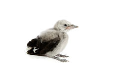 Clark's Nutcracker fledgling Royalty Free Stock Photos