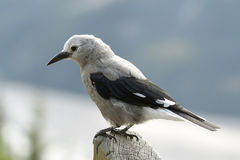 Clark's Nutcracker - Jasper National Park, Canada Royalty Free Stock Photos