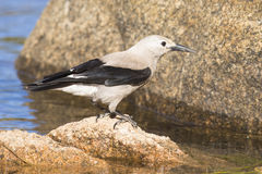 Clark`s nutcracker looking for bugs in water royalty free stock photos