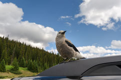 Clark's nutcracker Royalty Free Stock Photos
