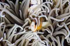 Clark& x27 s Anemonefish και πλοκάμια Anemone Στοκ εικόνες με δικαίωμα ελεύθερης χρήσης