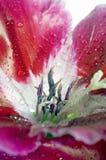 Clarkia a macroistruzione di godetia Fotografia Stock