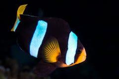 Clarkii του Clark ` s Anemonefish Amphiprion Στοκ Φωτογραφίες