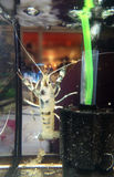Clarkii Clear. Crayfish, Clarkii Clear also known as crawfish, crawdads, freshwater lobsters, mountain lobsters, mudbugs or yabbies and scientific name Stock Photos